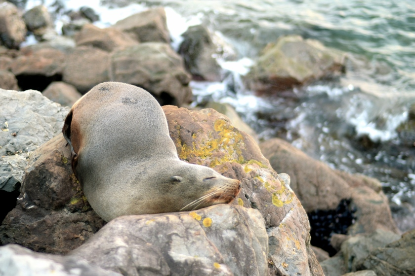 Sleepy Seal Friend