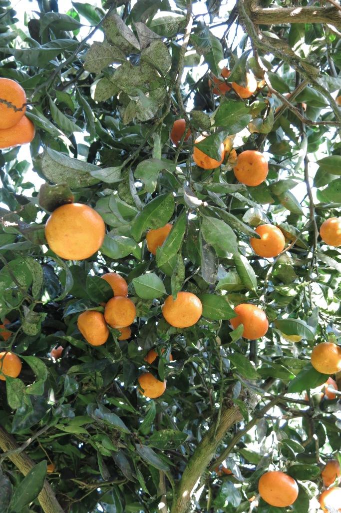 Mandarins!