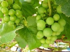 Green Grapes!