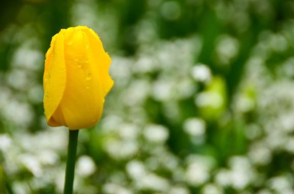 Solitary Tulip