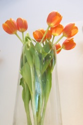 tulips, from the tulip museum