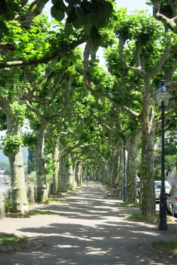 tree-lined walk at St. Abans