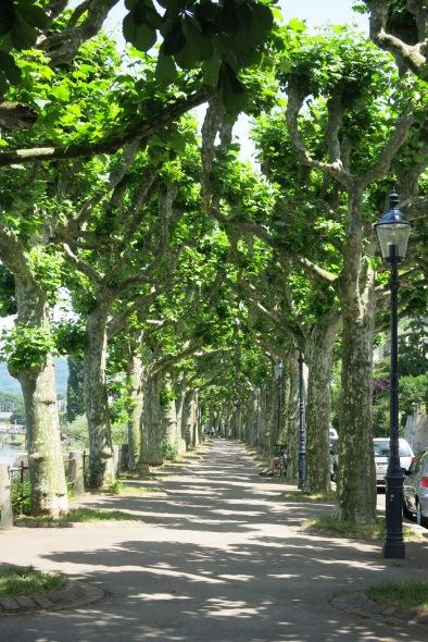 tree-lined walk at St. Abans