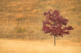 Solitary red tree