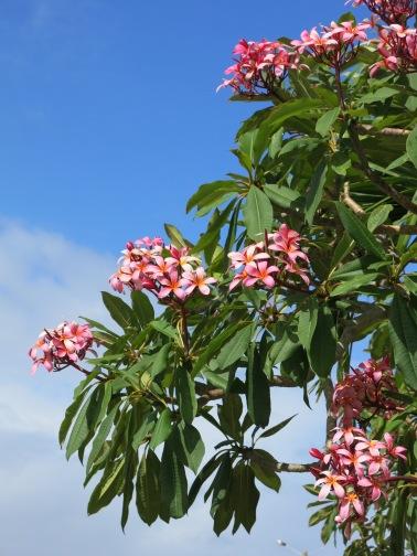 Frangipani set against a blue sky