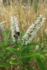 White blossoms and bees