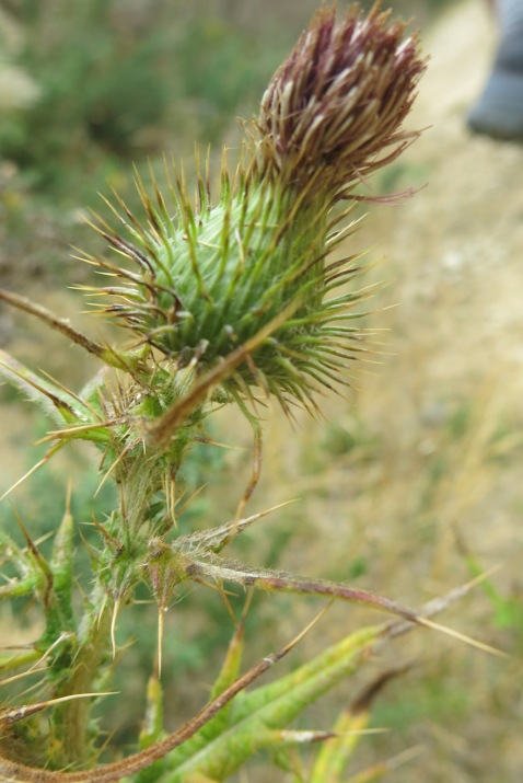 And this is a thistle.