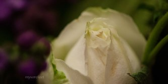 White rose bud and violet flowers