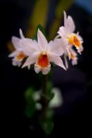 2019 taranaki orchid show (january)-14 resized