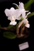 2019 taranaki orchid show (january)-15 resized