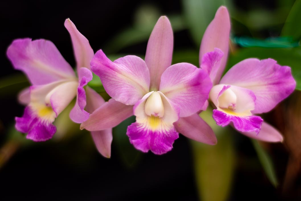 Summer Orchid Show