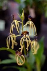 2019 taranaki orchid show (january)-17 resized