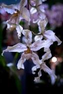 2019 taranaki orchid show (january)-28 resized
