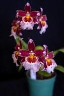 2019 taranaki orchid show (january)-32 resized