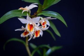 2019 taranaki orchid show (january)-34 resized