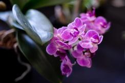 2019 taranaki orchid show (january)-35 resized