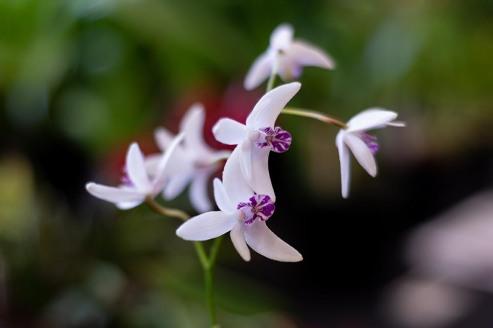 2019 taranaki orchid show (january)-36 resized